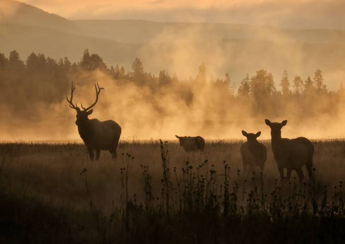 Elk at Sunrise   by donanzinger - Monthly Pro Vol 35 Photo Contest