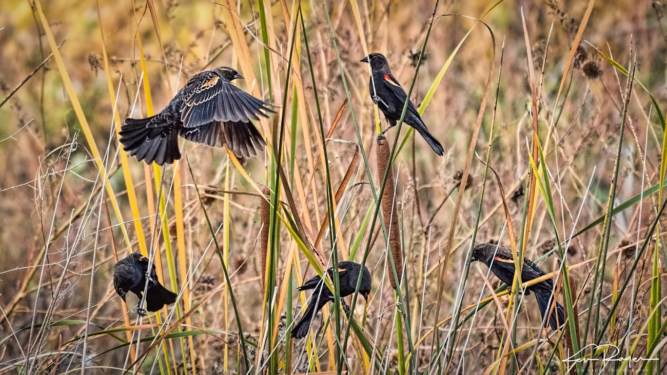 Blackbird Hello