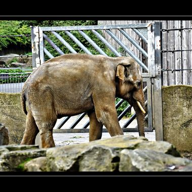 Elephant in quarantine.