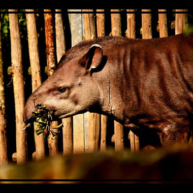 Tapir having a munch.