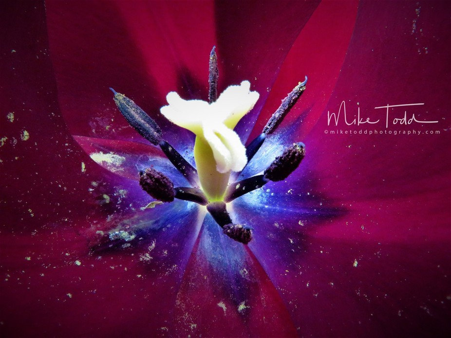 Newly formed tulip, I placed the lens at the top of the opening and allowed natural light to reve...
