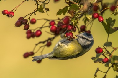 Autumn Blue Tit