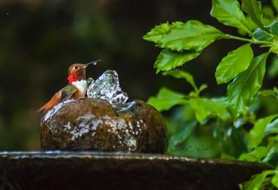 Hummingbird drop