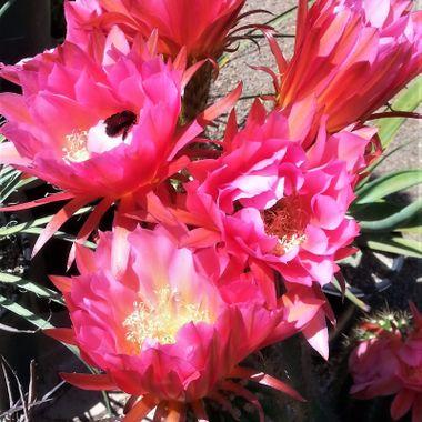 Bee on cactus