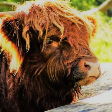 Love this baby Heiland coo enjoying a sunny afternoon