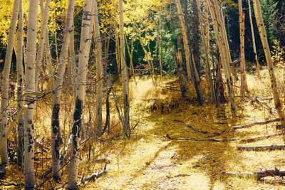 Colorado back wood aspen