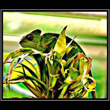 Chameleon trying to hide.