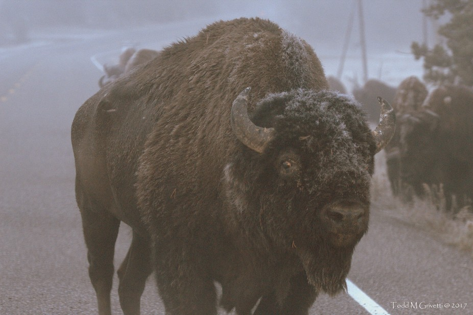 This herd of Bison along the road in Yellowstone NP was very active. This bull was pretty active as well.