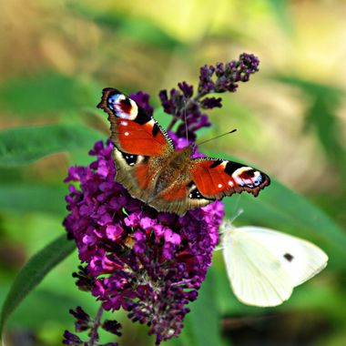Lilac attracting 2 Butterflies.