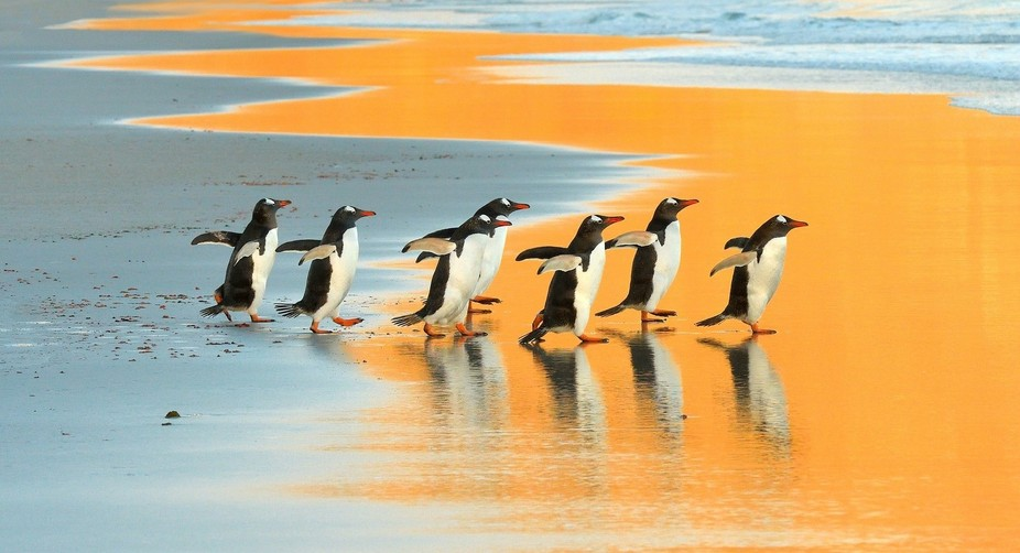 A group of Gentoo Penguins pn their way to the ocean. The Neck, Saunders Island, Falkland Islands