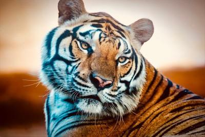 Tiger, GPZ