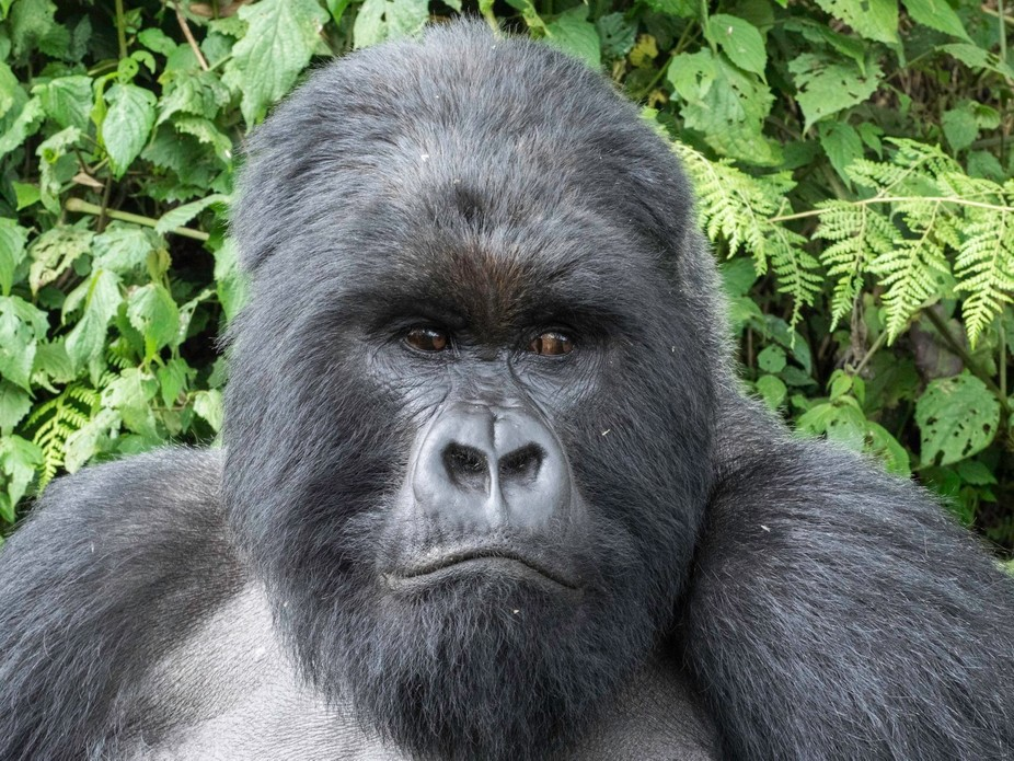 A portrait of the silverback
