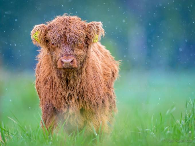Youngster in rain by kaunisto_pasi - Farms And Barns Animals Photo Contest