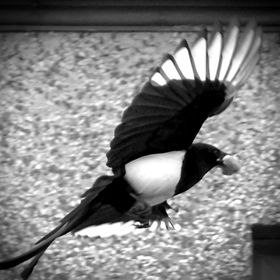 A magpie in flight with food.