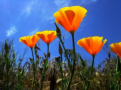 Poppies reaching