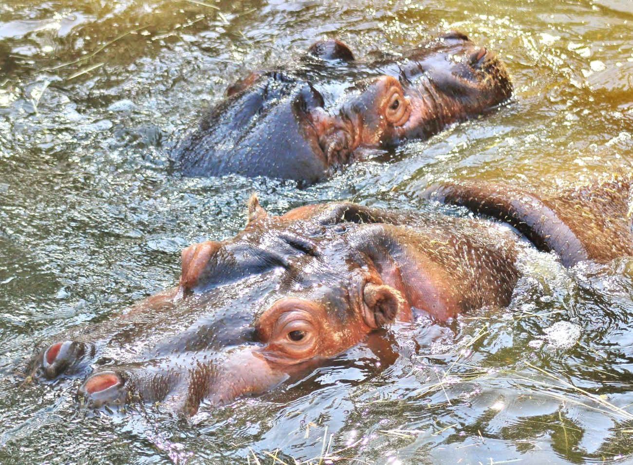 Hippos Cooling Off