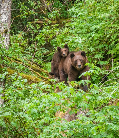 Grizzly mother and cub. Khutzemateen Grizzly Bear Sanctuary. BC
