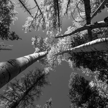 Aspens along Humphrys Peak trail BW