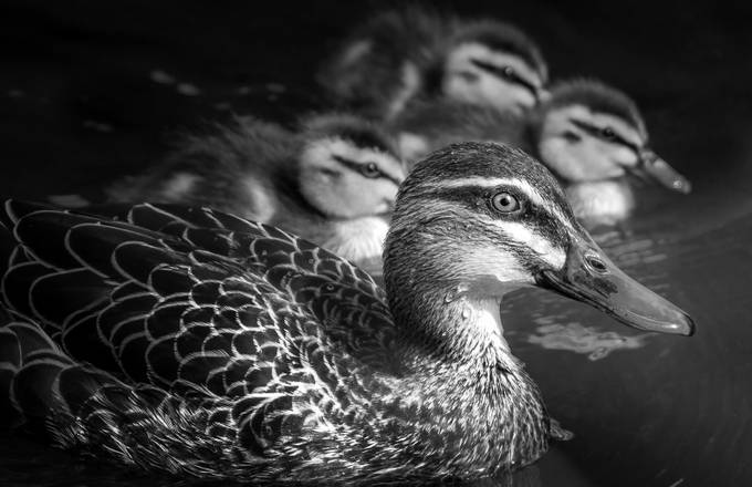 Pacific Duck by AshThomson - Patterns In Black And White Photo Contest