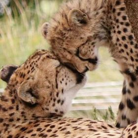 "A tender moment caught between a mother cheetah and her cub.  ""A mother's love"" All rights reserved©Pix.by.PegiSue"