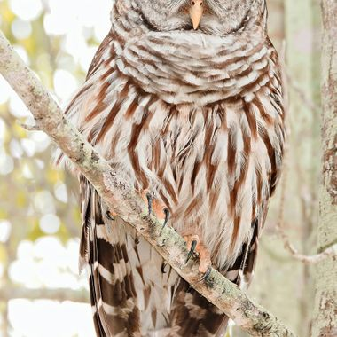 That's how the Barred Owl's voice sounds. This one was quiet patient with me. Let me get close without any urgency or panic. Did stare intensely. Grateful for the opportunity.