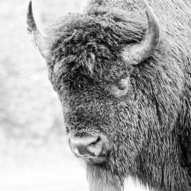 This male bison was looking for a fight. He stood in front of a minivan full of tourists with selfie sticks, who apparently, had irritated him into taunting them into one more selfie in order to attack. It actually took this bison's female partner to nudge him into sanity. It was a terrifying and beautiful process to watch and capture.