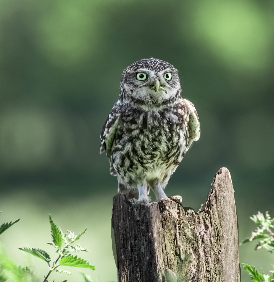 Staring. by MarieJordan - Beautiful Owls Photo Contest