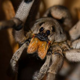 A wolf spider stares down the camera.