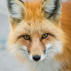 A fox photographed in Breckenridge, CO.