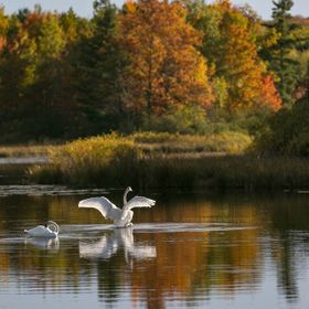 A pair of swans were together at Bass Lake and kind enough to stick around and let me photograph them with the Autumn leaves in the background.