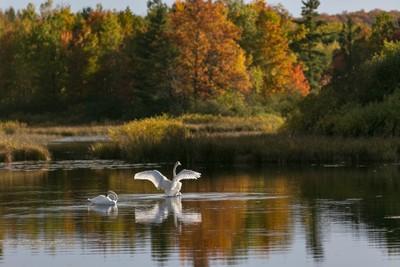 Swans at Bass Lake