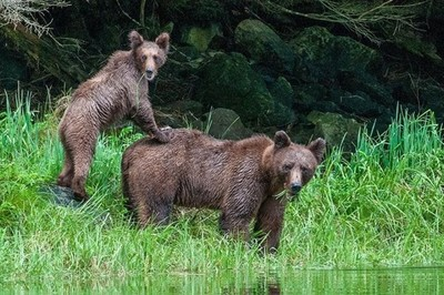 The ever alert mother grizzly and her doomed cub.