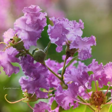Crepe Myrtle and BOKEH