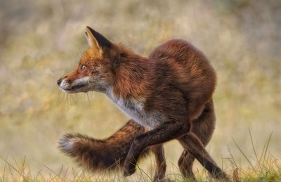 Red fox spotted something