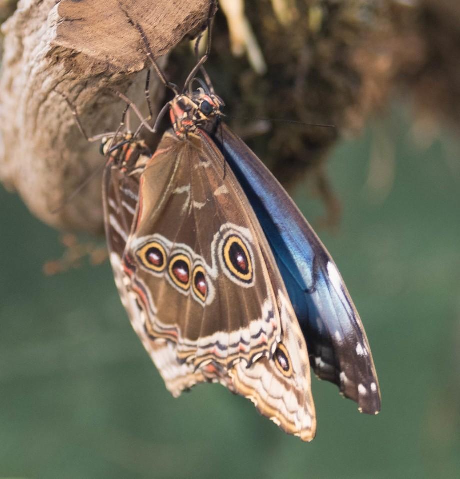 Rare rain forest butterfly