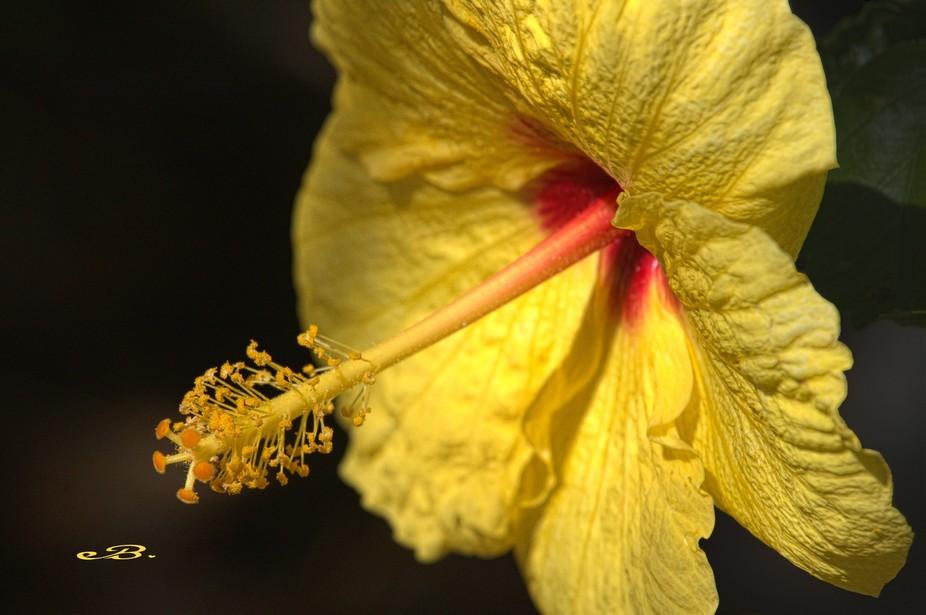 A beautiful Yellow Hibiscus