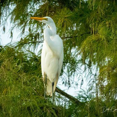 White heron Treetop