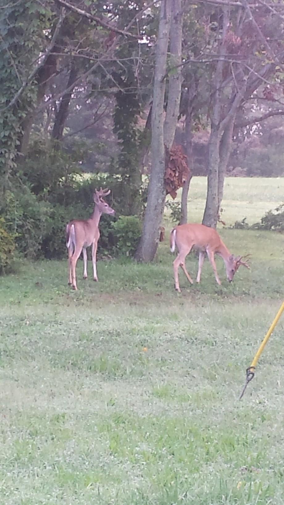 These 2 Bucks in the Backyard..