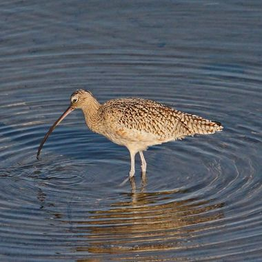 Long-Billed Curlew IMG_5020