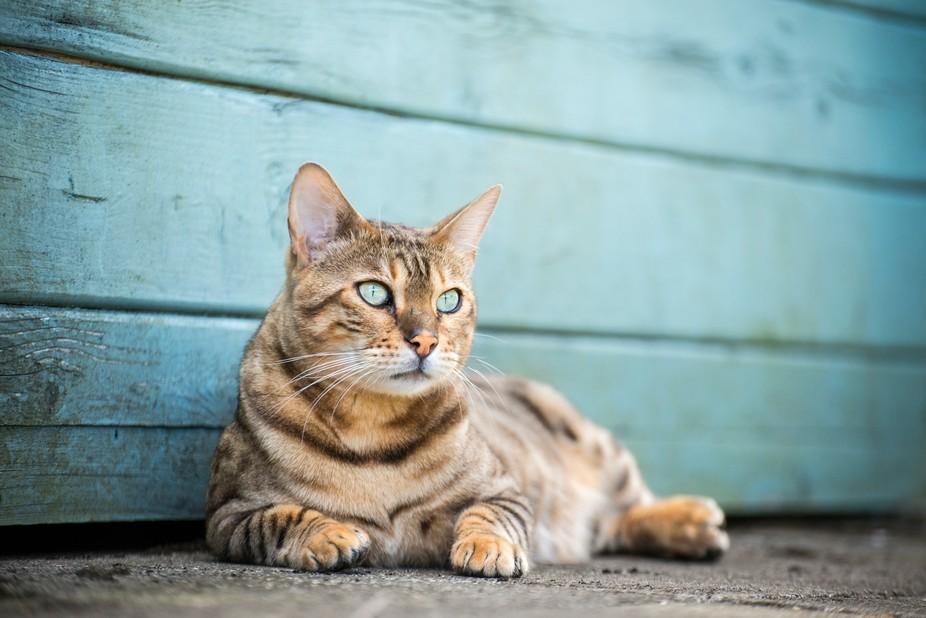 Maverick - Bengal Cat