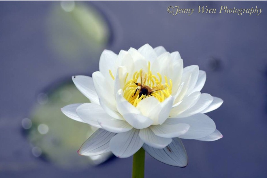 Busy bee collecting pollen on a waterlilly