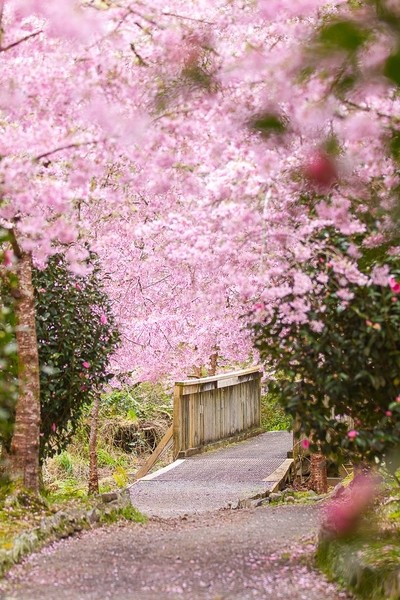 Walking the cherry blossom path