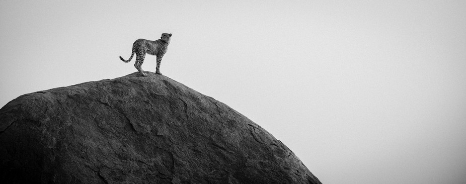 Cheetah looking for the next victim on this massive rock. Just one of the most majestic moments I...