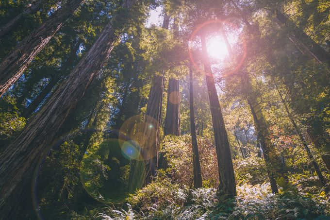 Enchanting Muir Woods of San Francisco by chrismiralles - Image Of The Month Photo Contest Vol 27