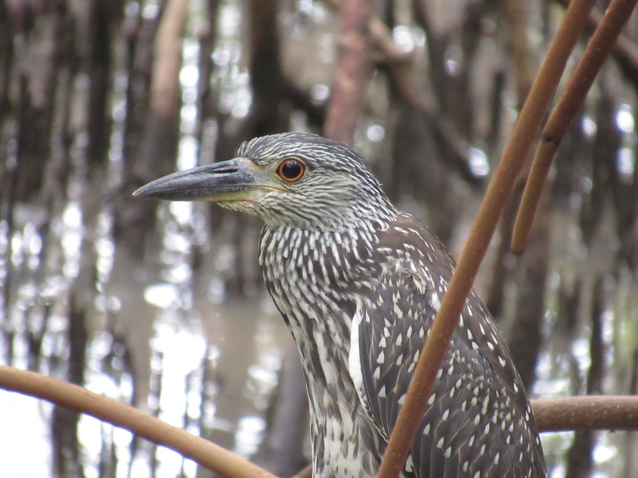 Oct 7 15 baby yellow crowned heron