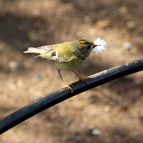 A Goldcrest (Regulus regulus) - Britain's tiniest bird – busily collecting feathers to line her nest