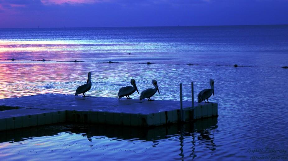Pelicans on the dock at daybreak in Islamorada, Florida