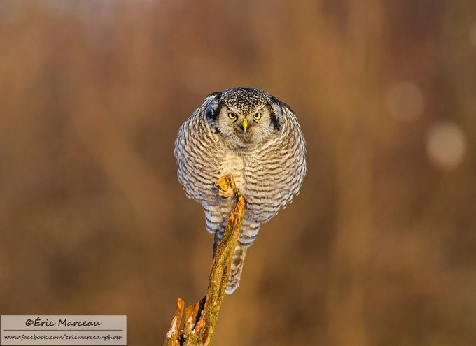 Northern hawk owl by ericmarceau - Image Of The Month Photo Contest Vol 27