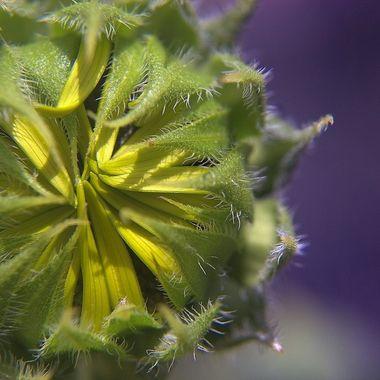A sunflower pod preparing to open