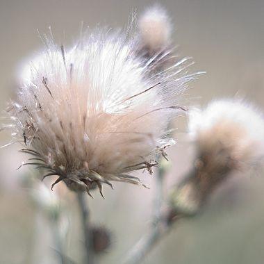 Seed pod preparing to disperse